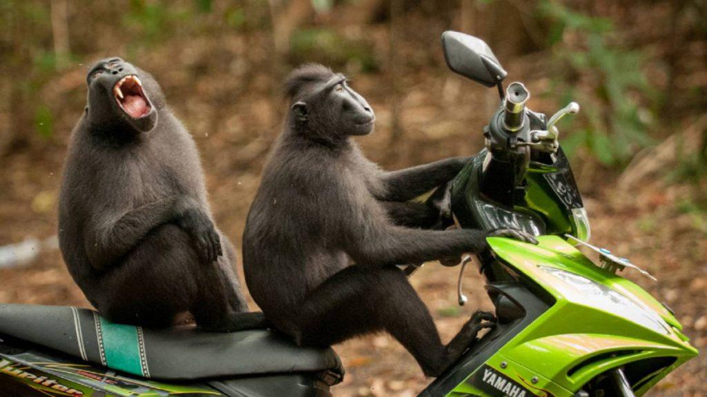 Monos montados en moto - Martínezochoa.com